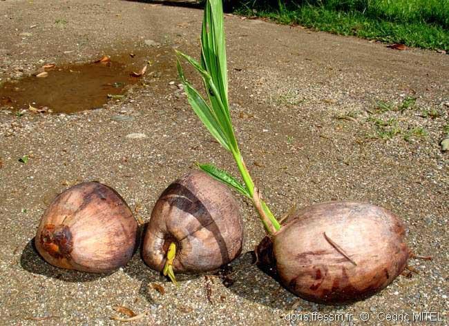 cocos nucifera | doris