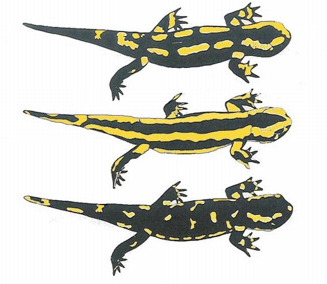 Salamandra salamandra   DORIS
