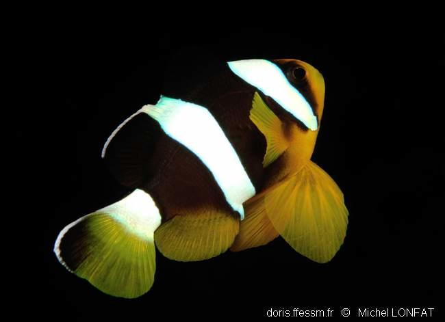 amphiprion_clarkii-ml1