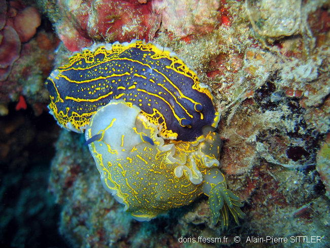 hypselodoris_picta_picta-aps6