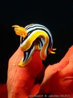 chromodoris_quadricolor-jmd4