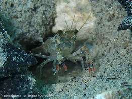 Orconectes_limosus-brfo42469