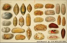 Ostracodes_Muller_1894