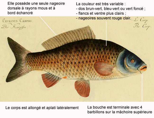cyprinus_carpio-legende-01