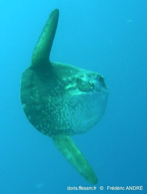Mola Mola Doris