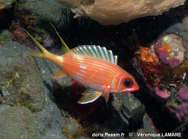 Holocentrus rufus doris for Poisson rouge gros yeux