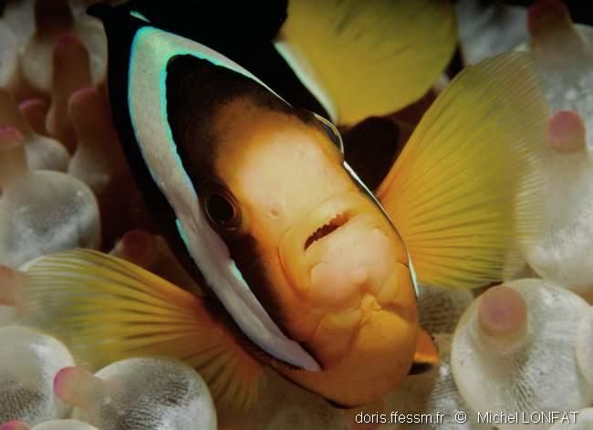 amphiprion_clarkii-ml2