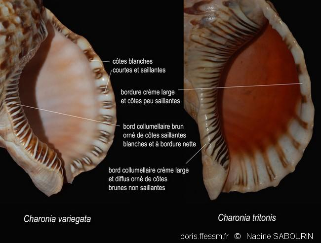 charonia_tritonis-ns3
