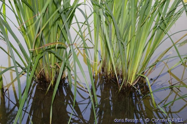 Typha_latifolia-4