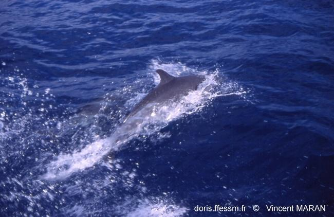 tursiops_truncatus_vm_1