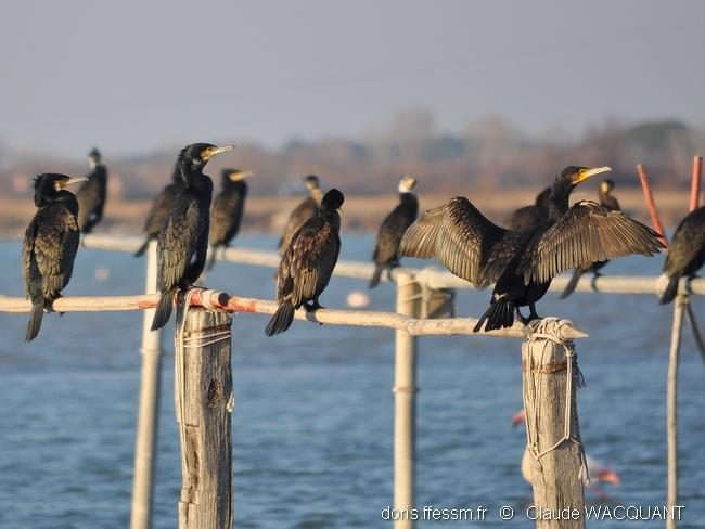 phalacrocorax_carbo-grauduroi-23ja11_3-cw