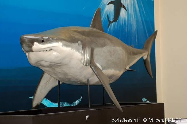 carcharodon_carcharias_1_vm