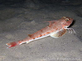 chelidonichthys_obscurus-gd100