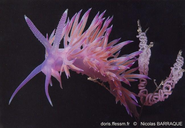 flabellina_affinis_nb__123
