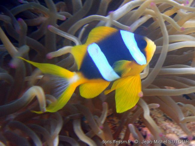 amphiprion_sp-jms13