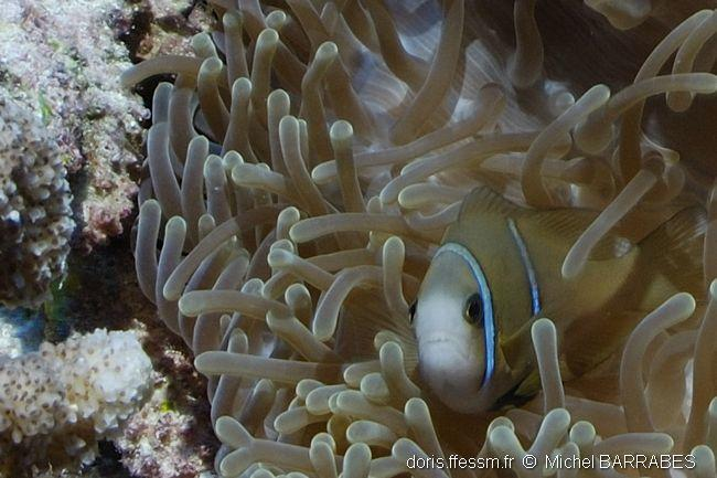 amphiprion_chrysopterus-mb6