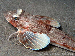 chelidonichthys_obscurus-gd102