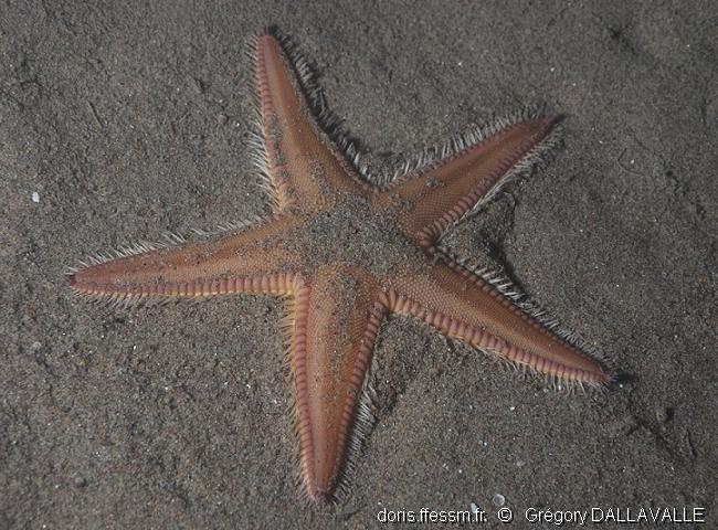 astropecten_irregularis-gd2