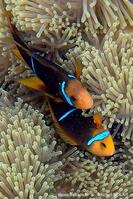 amphiprion_chrysopterus-mk1